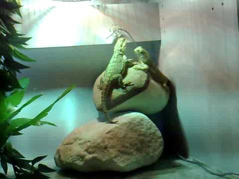 Pygmy Bearded Dragons - Basking & Behaviour