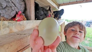 a world record for most broody hens hatching ONE egg?