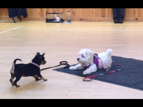 Puppies playing ! Lexie the Chihuahua and Teddy the Maltese terrier.