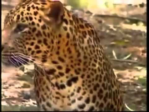 Leopard and tiger - India deadliest cats - National Geographic