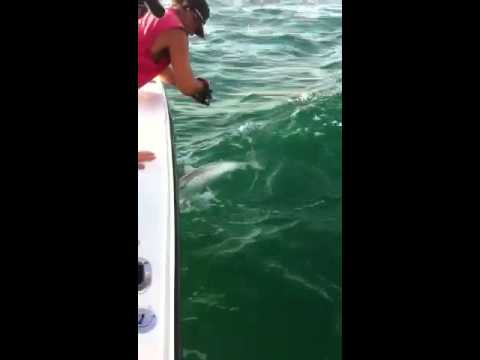 Black tip shark fishing out of Tampa Clearwater deep sea ww