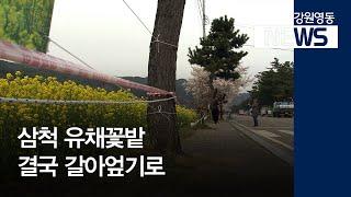 R]삼척 유채꽃밭 결국 갈아엎기로