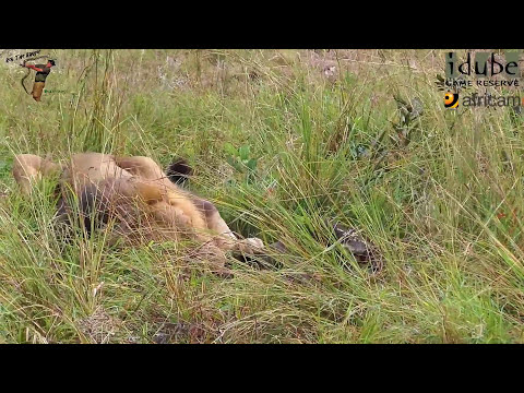 Dramatic Lion Hunt: Lions Stalk And Kill Buffalo Cow & Newborn Calf !!