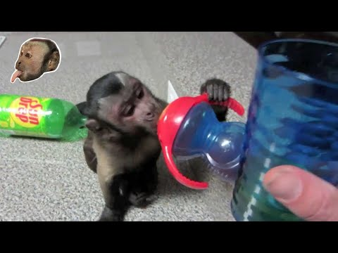 Capuchin Monkey Games