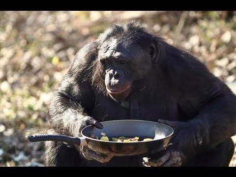 Kanzi The Bonobo Makes A Campfire