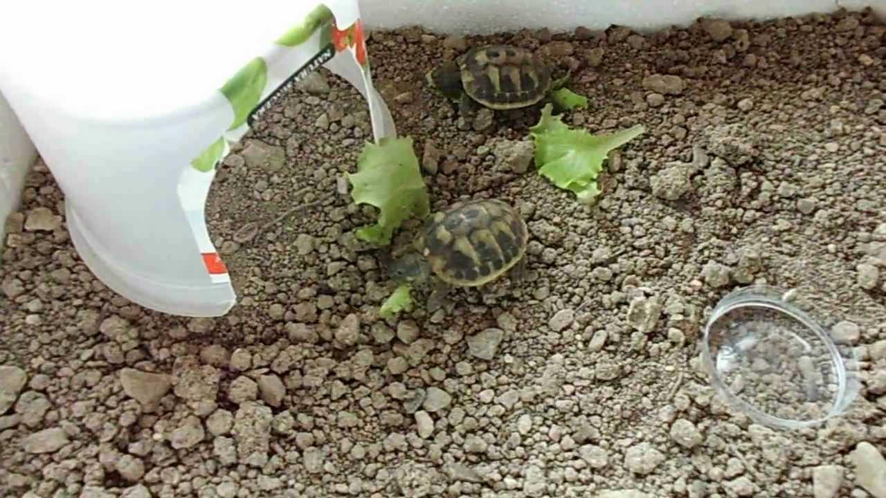 Tartarughine di terra youtube for Terrario per tartarughe di terra giardino