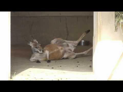 2010年4月6日 東山動植物園 - カンガルー