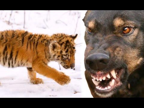 Что стало с истощенным тигренком оставшегося без матери