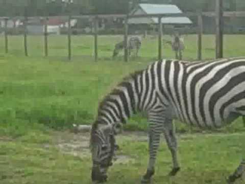 Zebra Pet Pet Zebras