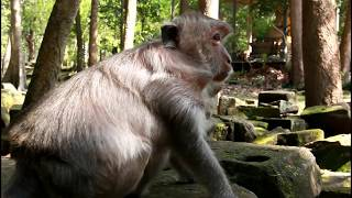 Big Baby Monkey Lose His Mother, Nature Daily ST 252