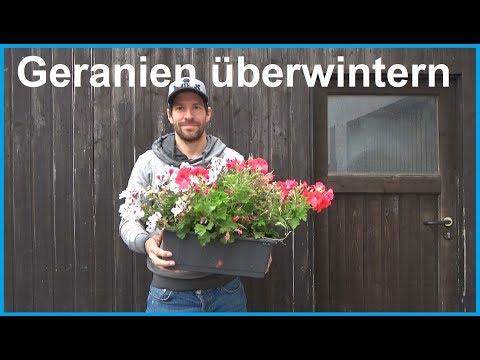 Geranien überwintern Geranien Pelargonien Überwinterung nicht winterhart frost Winter