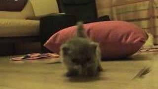 Tortie Persian Kitten - First Steps - Persian Kitten Empire