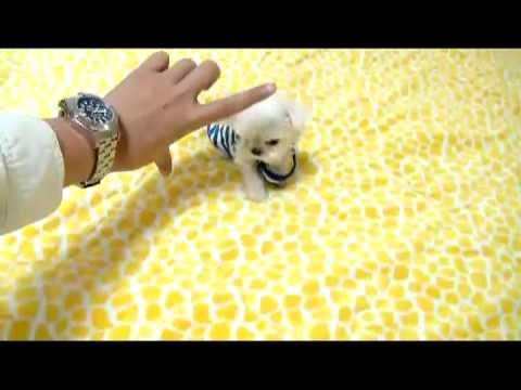 Cutest Puppy Pictures Pet Photography Tips further Kyle Male Teacup Maltese Available as well Yorkiepoo in addition 536780 Maltipoo Rescue furthermore 492796 Fantastic Black Toy Poodle Puppy One Left Horncastle. on teacup poodles for adoption