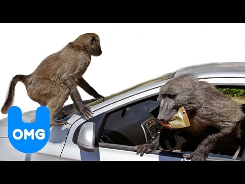 Baboons is listed (or ranked) 36 on the list The Top 100 Weirdest, Most Amazing Creatures Ever On Earth