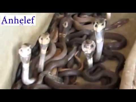 Смертельный трюк куча змей Юмор! Прикол! Смех