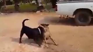 Rottweiler Attacking Street Dog