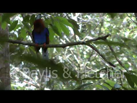 Sri Lankan Blue Magpie, Sri Lanka. 20110220 152148.mp4 video