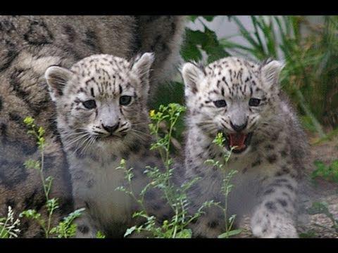 09年7月3日 ユキヒョウの赤ちゃん初公開(円山動物園)