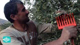 شاهد كيف يتم قطف الزيتون وتسويقه في عفرين