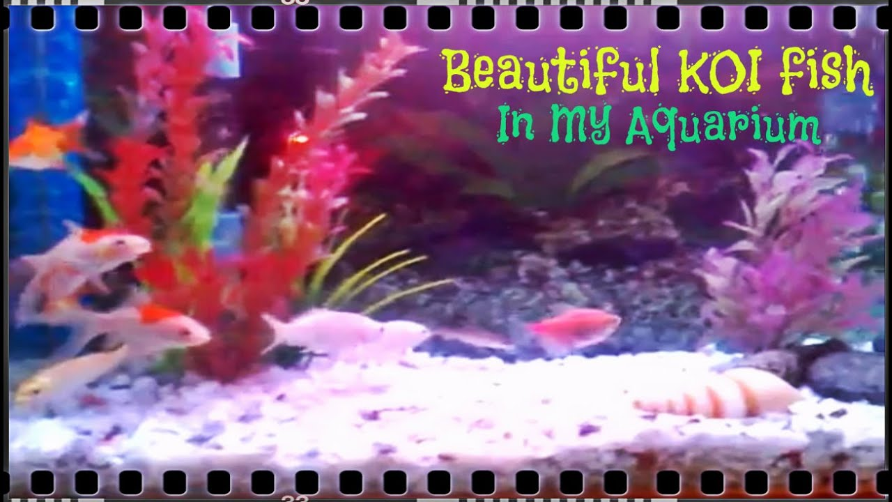 Beautiful koi fish in my aquarium part 20 video for Coy fish aquarium