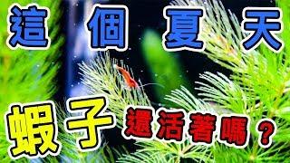 【分享】水族時間│蝦缸過暑假│水草修剪│烤漆蝦│米蝦│Neocaridina heteropoda var. fire red│shrimp