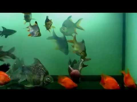 ปลาแม่น้ำ