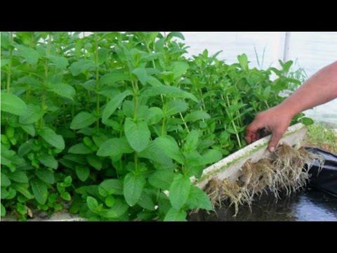 Clique e veja o vídeo Hidroponia de Plantas Medicinais e Condimentares - Apresentação