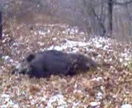 lov na diva svinja