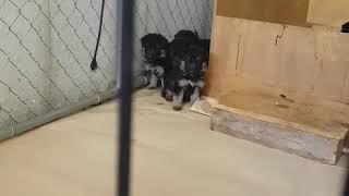 Gsd puppies Toronto breeder