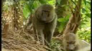 Baboons vs chimpanzees - BBC wildlife