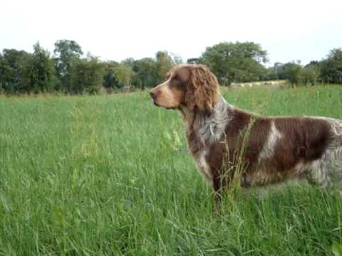 Training Spaniels to Hunt Hunting Dog Training Picardy