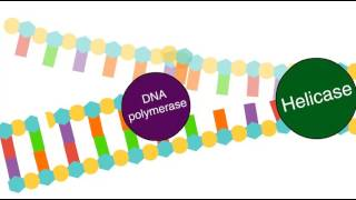 Enzymes in DNA replication
