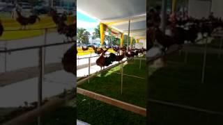 Bengkulu kontes ayam brugo/hutan