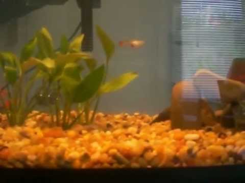 So far i have about 3 adult guppies, 3 baby female guppies(only about 2 ...