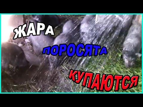 Жара// Свиньи купаются // Моё подворье