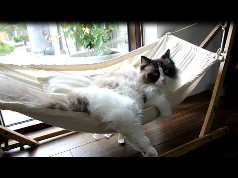 Las peripecias de un gato para aprender a subirse a su amaca