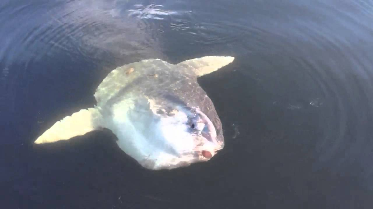 Giant sun fish in puget sound youtube for What sound does a fish make