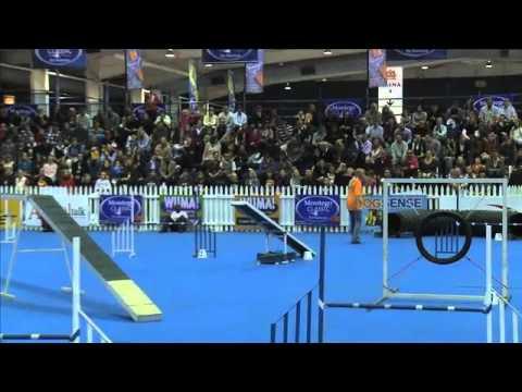 Dog sport, agility: German Shepherd Shandy in dog agility contest, South Africa