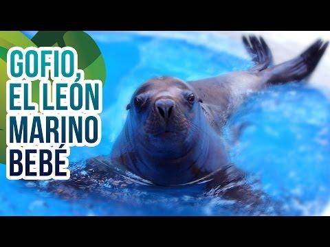 Así vive Gofio, el bebé León Marino del Sur