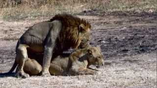 Lions mating - Possibly the best video record on YouTube