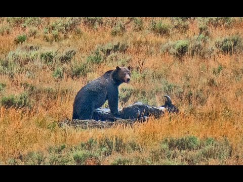 In Yellowstone Park Its all about the Bears and Wolves