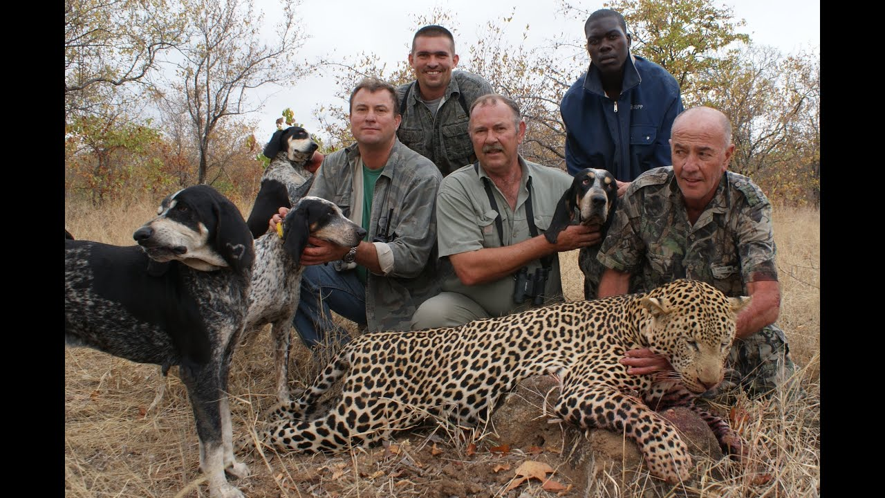 Leopard Hunting in Afr...Leopard Coonhound