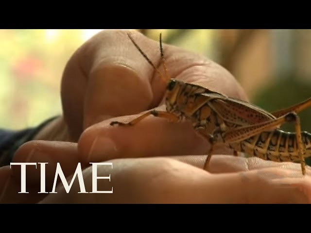 Giant Insect Ambassadors for the Rainforest