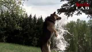 Amazing German Shephards in Slow Motion | Slow Mo Lab