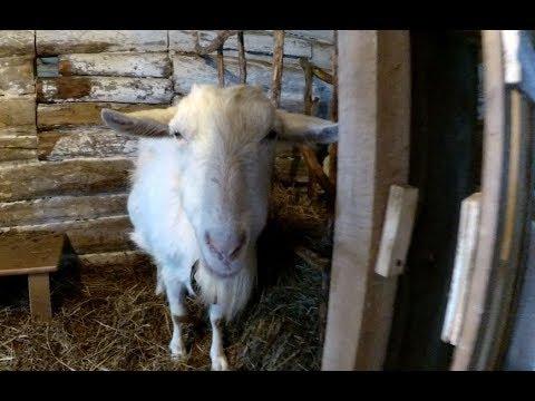 Итог - доим коз 1 раз в день