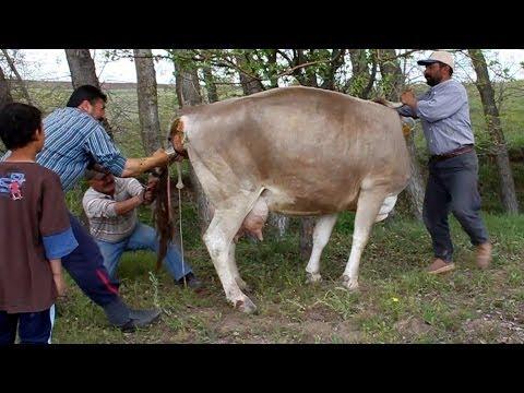 Buzağı Doğumu | Geburt eines Kalbes | Birth of a calf | Naissance dun veau