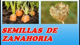 Como Obtener Semillas De Zanahorias // How to Get Carrots Seeds