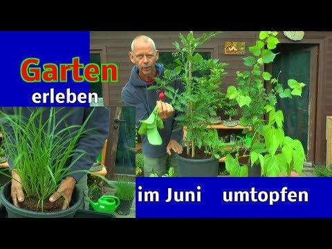 Garten Stecklinge ansehen umtopfen größerer Pflanzen im Sommer und mehr Inspirationen aus dem kleine