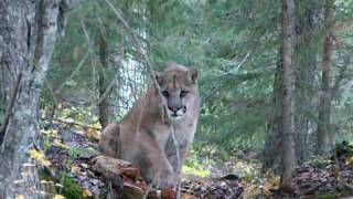 cougar encounter