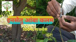 इनसेतु आंबा कलम कमी पाण्यावर येणारे झाड amazim insetu mango tree grafting